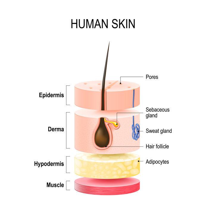 Coupe de peau humaine avec glandes sudoripares