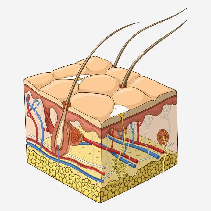 La peau et les glandes sudoripares