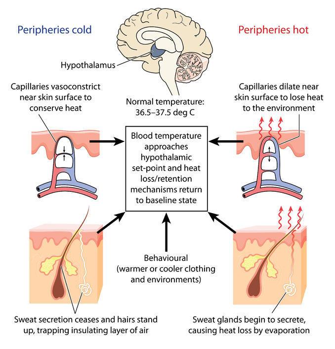 Physiologie de la transpiration